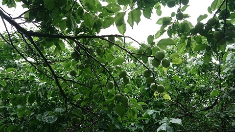 梅の実.jpg